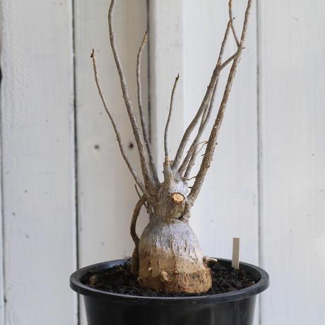 Ficus  ゴールドマニアーナ