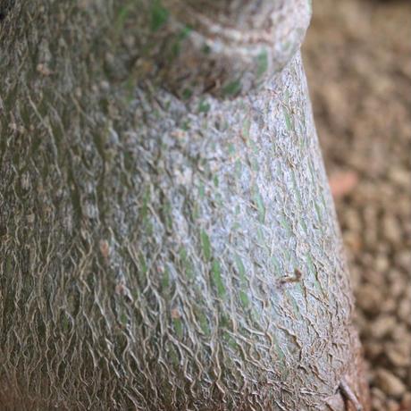 Bombax eripticum エリプチカム