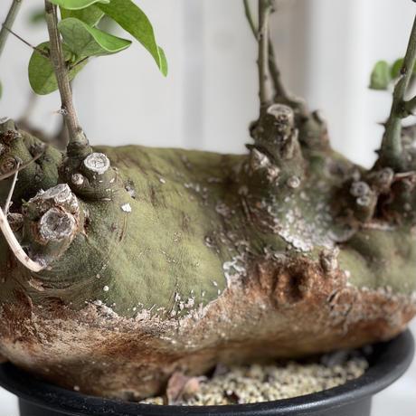 Adenia スピノーサ