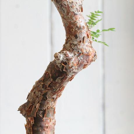 Commiphora モンストローサ