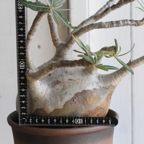 パキポディウム グラキリス