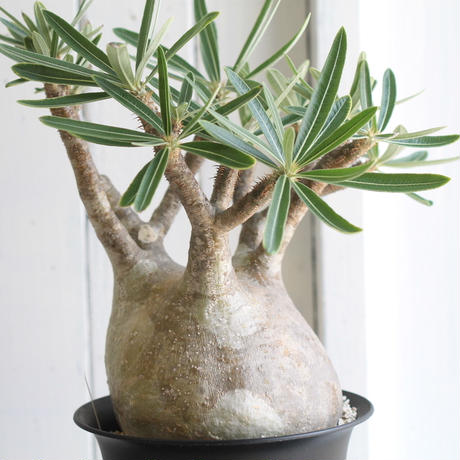 Pachypodiumu グラキリス
