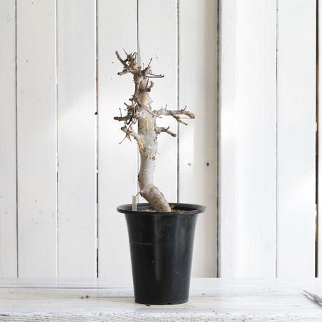 Comiphora holtziana  ホルトジアナ