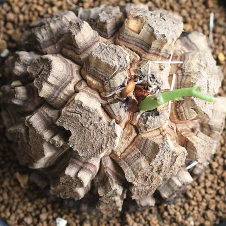 ディオスコレア 亀甲竜