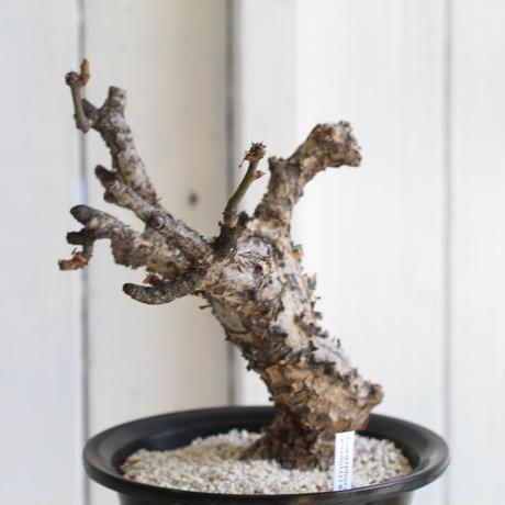 Commiphora guidottii グイドッティ