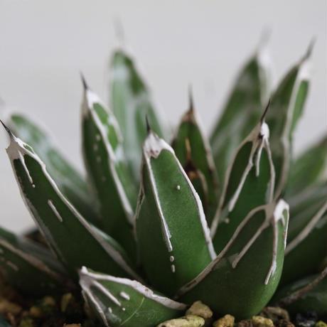 Agave 児玉笹の雪