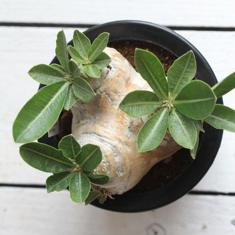 pachypodium エブレネウム