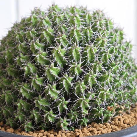 Euphorubia ミトリフォルミス
