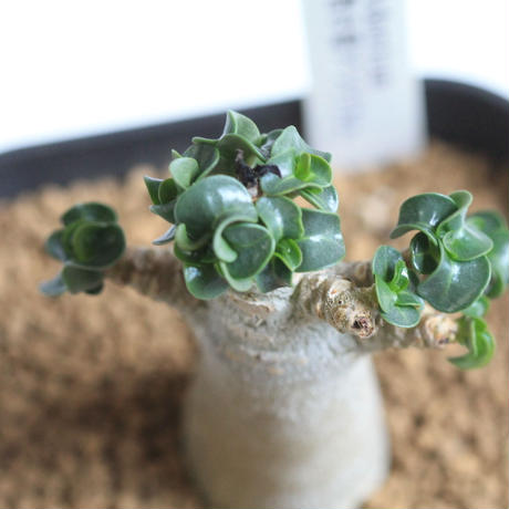 Adenium 巻き葉アラビカム