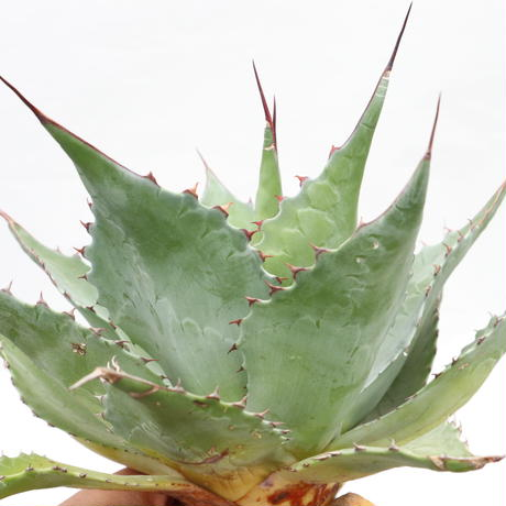 Agave ovatifolia Kelly Griffin selection