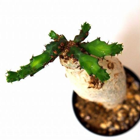 ユーフォルビア ステラータ 飛竜  Euphorbia stellata №1