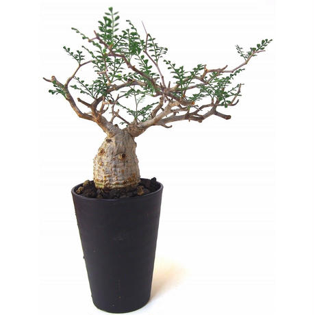 Operculicarya pachypus オペルクリカリア パキプス №5