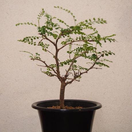 Operculicarya decaryi オペルクリカリア・デカリー no.2