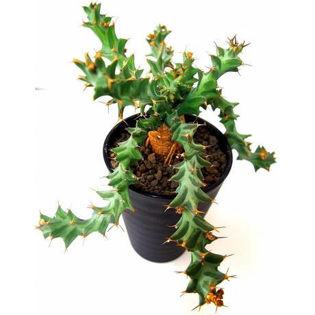 Euphorbia tortirama ユーフォルビア・ムクジエンシス