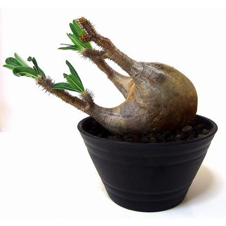Pachypodium Gracilius パキポディウム  グラキリス  №4 new