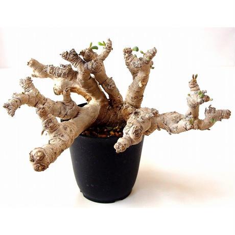 オトンナ クラビフォリア Othonna clavifolia 大株