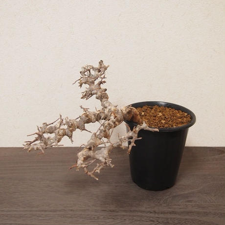 コミフォラ エイル Commiphora sp. Somalia Eyl