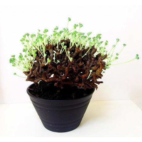 ペラルゴニウム ミラビレ Pelargonium mirabile №2