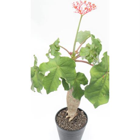 ヤトロファ サンゴアブラギリ