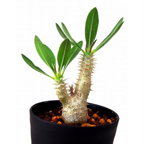 Pachypodium rosulatum   パキポディウム ロスラーツム №2