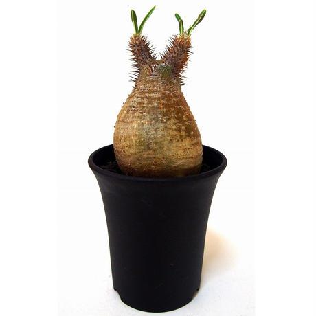 Pachypodium Gracilius パキポディウム  グラキリス  №4  little