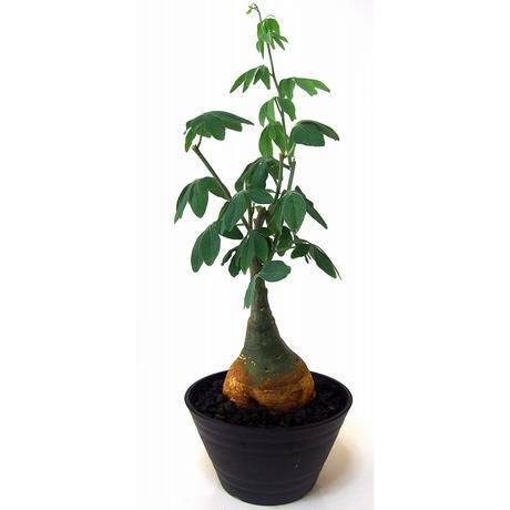 Adenia glauca  アデニア グラウカ 幻蝶かずら
