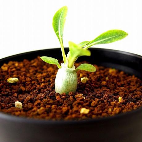 Pachypodium eburneum パキポディウム エブレネウム 実生苗  №4