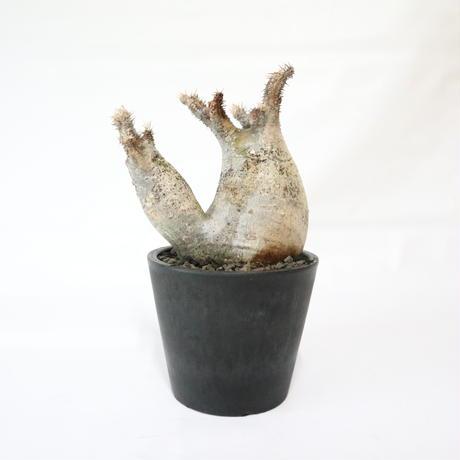 パキポディウム グラキリス 双頭株