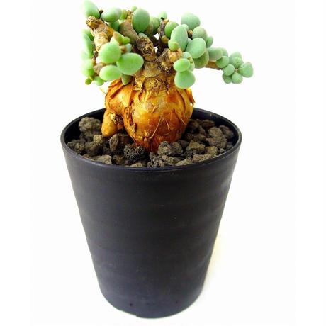 Ceraria pygmaea ケラリア・ピグマエア  №6