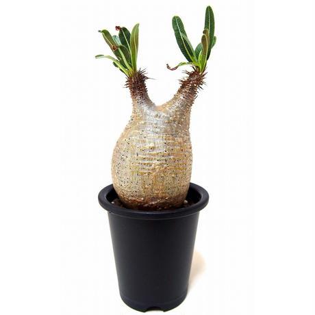 Pachypodium Gracilius パキポディウム  グラキリス  №7 little