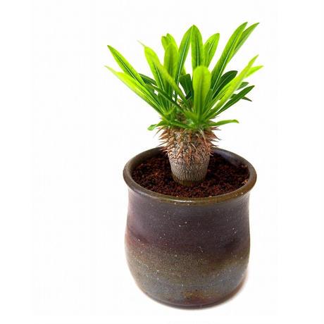Pachypodium densiflorum シバ女王の玉櫛  №1