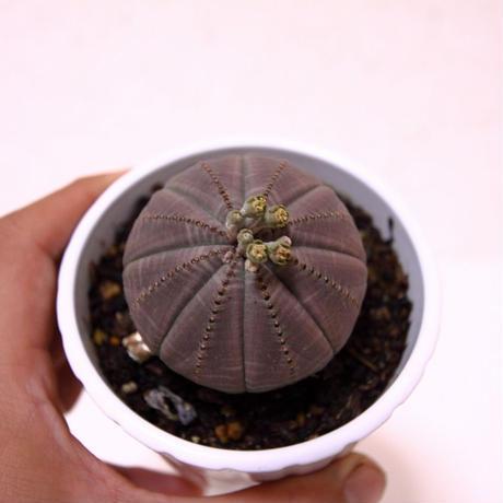 ユーフォルビア オベサ Euphorbia obesa