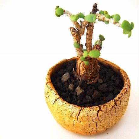 Ceraria pygmaea ケラリア・ピグマエア  №2