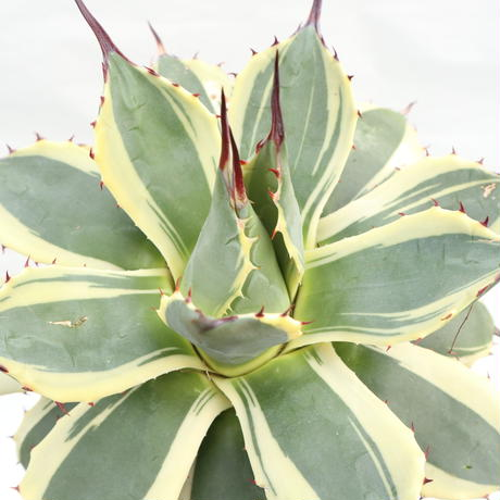 Agave applanata Cream Spike №2