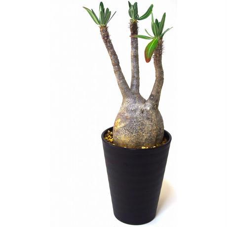 Pachypodium    パキポディウム グラキリス   №3
