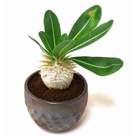 パキポディウム エブレネウム Pachypodium eburneum