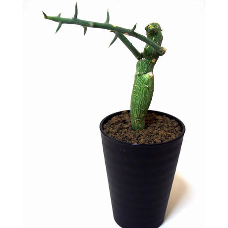 Adenia globosa アデニア・グロボーサ