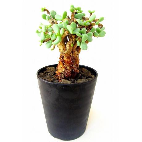 Ceraria pygmaea ケラリア・ピグマエア  №4