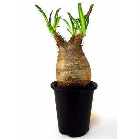 Pachypodium Gracilius パキポディウム  グラキリス  №6  little