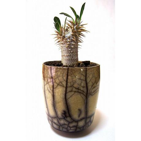パキポディウム ロスラーツム  Pachypodium rosulatum  france pot