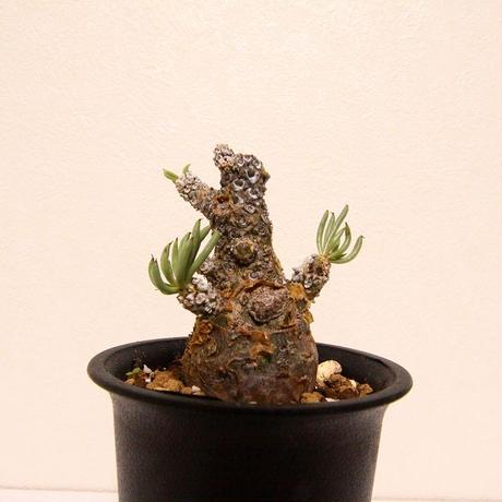 チレコドン ペアルソニー Tylecodon pearsonii
