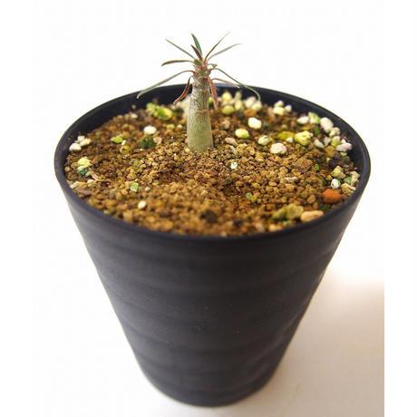 Pachypodium    パキポディウム グラキリス 実生苗
