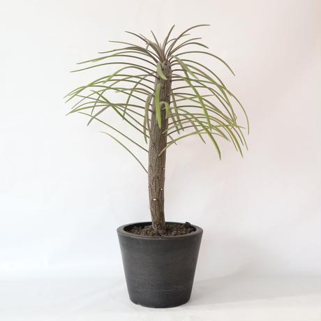 セネキオ クライニア モンキーツリー