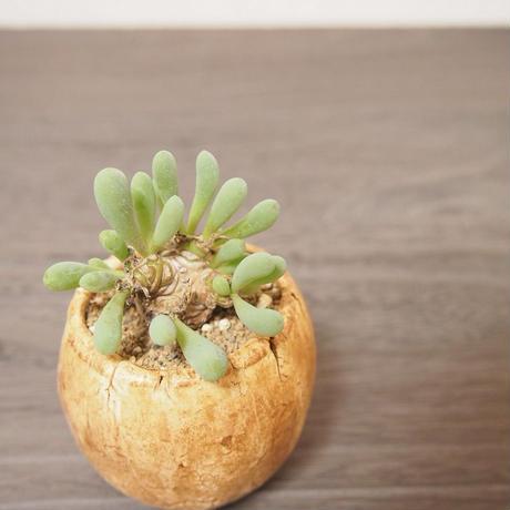 オトンナ クラビフォリア Othonna clavifolia no.3