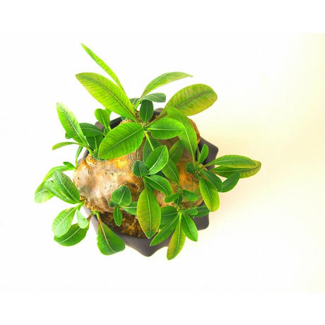 Pachypodium brevicaule パキポディウム 恵比寿笑い