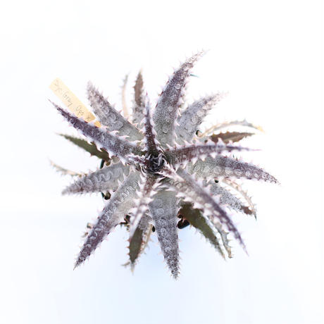 Dyckia  Gray ops x HH