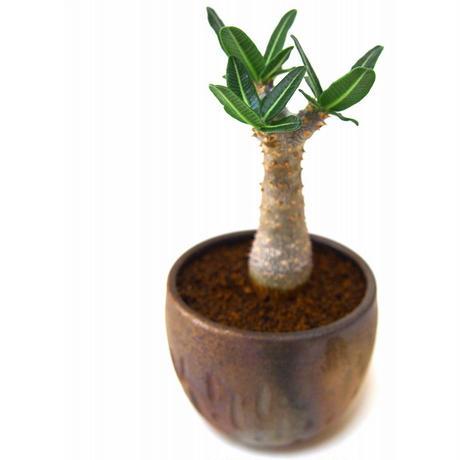 Pachypodium Tackyi パキポディウム タッキー