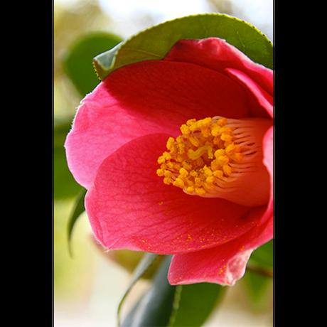 【化粧品】椿ラベンダーオイル:100ml *オーガニック・無添加* <乾燥の季節に最適!>