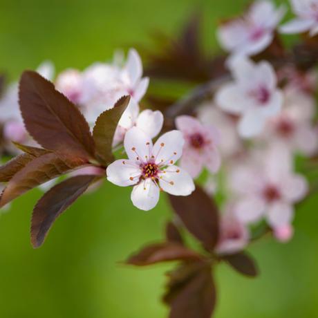 ヤマザクラ蜂蜜/Wild cherry blossoms