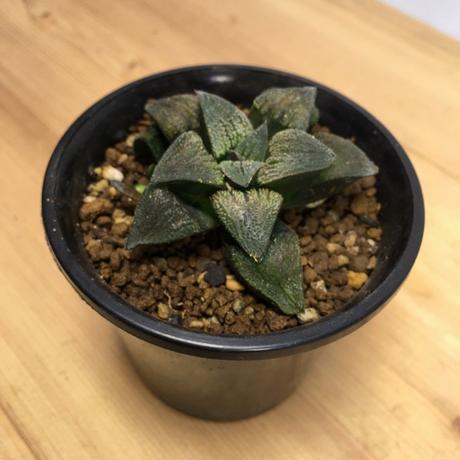 ハオルチア 赤毛蟹 Haworthia hyb 'Aka-kegani' (M00265)